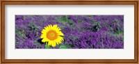 Framed Lone sunflower in Lavender Field, France