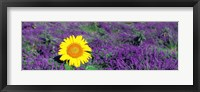 Framed Lone sunflower in Lavender Field, France