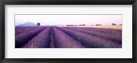 Framed Lavender Field, Plateau De Valensole, France
