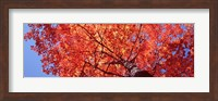 Framed Low Angle View Of A Maple Tree, Acadia National Park, Mount Desert Island, Maine, USA