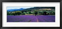 Framed Lavender Field, Provence, France