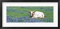 Framed Texas Longhorn Cow Sitting On A Field, Hill County, Texas, USA