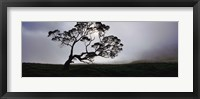 Framed Silhouette Of A Koa Tree, Mauna Kea, Kamuela, Big Island, Hawaii, USA