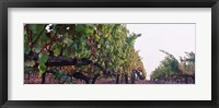 Framed Crops in a vineyard, Sonoma County, California, USA