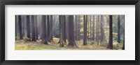Framed Trees in the forest, South Bohemia, Czech Republic