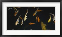 Framed Close-up of a school of fish in an aquarium, Japanese Koi Fish, Capitol Aquarium, Sacramento, California, USA