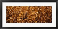Framed Close-up of ripe soybeans, Minnesota, USA