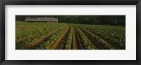 Framed Tobacco Field in North Carolina