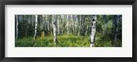 Framed Field of Rocky Mountain Aspens