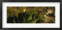 Framed Close-up of an aloe vera plant, Baja California, Mexico