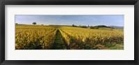 Framed Panoramic view of vineyards, Schloss Vollrads, Johannisberg, Oestrich-Winkel, Rheingau, Germany