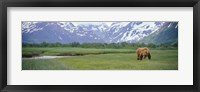Framed Grizzly bear grazing in a field, Kukak Bay, Katmai National Park, Alaska