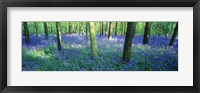 Framed Bluebells in a forest, Charfield, Gloucestershire, England