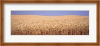 Framed Golden wheat in a field, Palouse, Whitman County, Washington State, USA