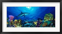 Framed Caribbean Reef shark (Carcharhinus perezi) Rainbow Parrotfish (Scarus guacamaia) in the sea