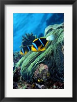 Framed Allard's anemonefish (Amphiprion allardi) in the ocean
