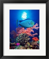 Framed Vlamings unicornfish and Squarespot anthias (Pseudanthias pleurotaenia) with soft corals in the ocean
