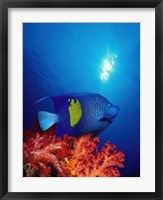 Framed Yellow-Banded angelfish (Pomacanthus maculosus) with soft corals in the ocean