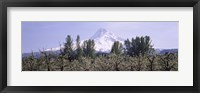 Framed Fruit trees in an orchard with a snowcapped mountain in the background, Mt Hood, Hood River Valley, Oregon, USA