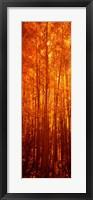 Framed Aspen trees at sunrise in autumn, Colorado (vertical)