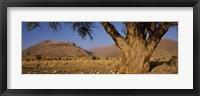 Framed Camelthorn tree (Acacia erioloba) with mountains in the background, Brandberg Mountains, Damaraland, Namib Desert, Namibia