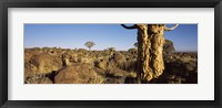 Framed Quiver tree (Aloe dichotoma) growing in a desert, Namibia