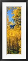 Framed Valley with Aspen trees in autumn, Colorado, USA