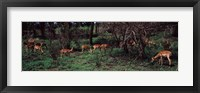Framed Herd of impalas (Aepyceros Melampus) grazing in a forest, Kruger National Park, South Africa