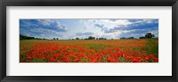 Framed Close Up of Red Poppies in a field, Norfolk, England