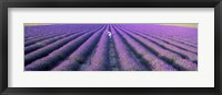 Framed Fields of lavender, Provence-Alpes-Cote d'Azur, France