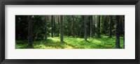 Framed Pine forest, Uppland, Sweden