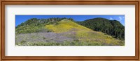Framed Sunflowers and larkspur wildflowers on hillside, Colorado, USA