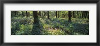 Framed Bluebells growing in a forest, Exe Valley, Devon, England