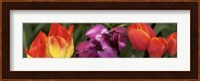 Framed Multiple images of tulip flowers