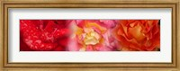 Framed Close-up of three Rose flowers