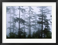Framed Silhouette of trees with fog, Douglas Fir, Hemlock Tree, Olympic Mountains, Olympic National Park, Washington State, USA