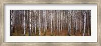 Framed Silver birch trees in a forest, Narke, Sweden