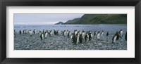Framed Colony of King Penguins, South Georgia Island, Antarctica