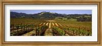 Framed Vineyard, Geyserville, California