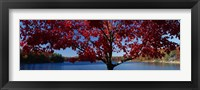 Framed Close-up of a tree, Walden Pond, Concord, Massachusetts, USA