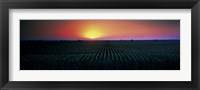 Framed Corn field at sunrise Sacramento Co CA USA