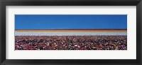 Framed Ranunculus Flowers, Carlsbad CA