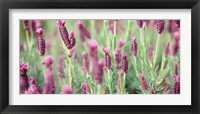 Framed High angle view of Italian Lavender