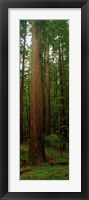 Framed Giant Redwood Trees Ave of the Giants Redwood National Park Northern CA