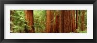 Framed Redwoods Muir Woods CA USA