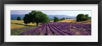 Framed Flowers In Field, Lavender Field, La Drome Provence, France