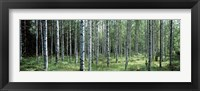 Framed White Birches Aulanko National Park Finland