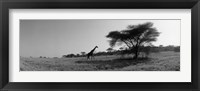 Framed Giraffe On The Plains, Kenya, Africa