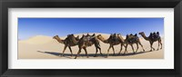 Framed Camels walking in the desert