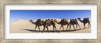 Framed Camels walking in the desert